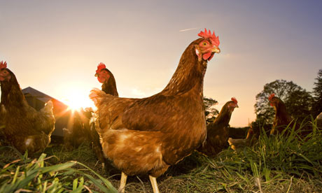 pastured-chickens